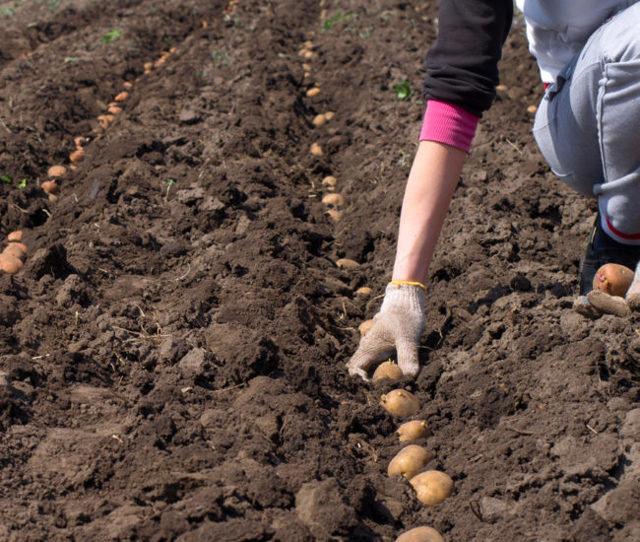 Картофель Кураж: характеристика, правила выращивания, плюсы и минусы сорта