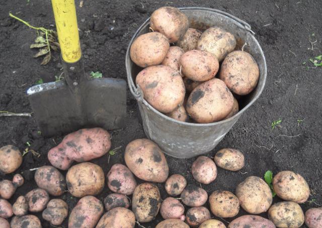 Сорт картофеля Жуковский ранний: описание, посадка, уход и сбор урожая