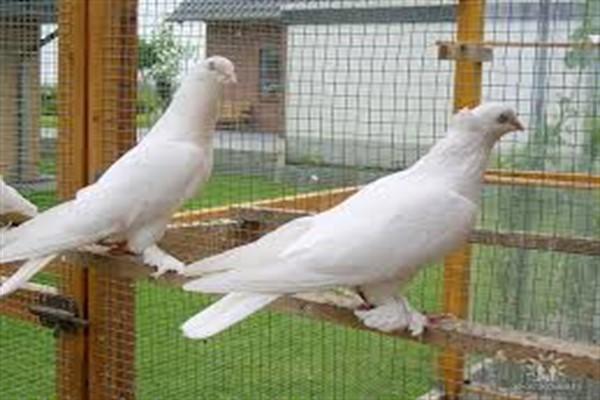 Пакистанские высоколетные голуби: описание породы с фото, особенности содержания
