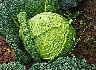 Савойская капуста: характеристики, описание, фото, выращивание и уход