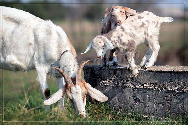 Англо-нубийские козы: описание, фото, уход и содержание, разведение, отзывы