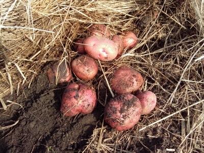 Картофель сорта Журавинка: характеристики, правила посадки и ухода, отзывы