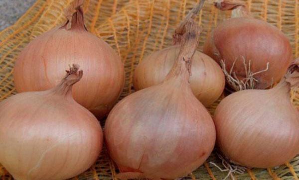 Лук Стурон: описание выращивания, характеристика овоща, достоинства и недостатки сорта