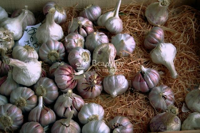 Озимый чеснок: посадка и уход в открытом грунте, сбор урожая, отзывы