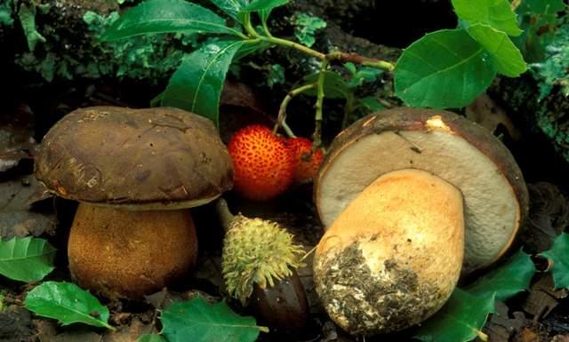 Выращивание боровиков: виды, способы, полезные свойства