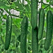 Партенокарпические огурцы: лучшие сорта, выращивание и уход
