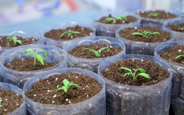 Выращивание рассады баклажанов: выбор сорта, посадка, уход, сложности