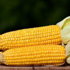 Кукуруза Добрыня: характеристики сорта, фото, посадка, уход, хранение