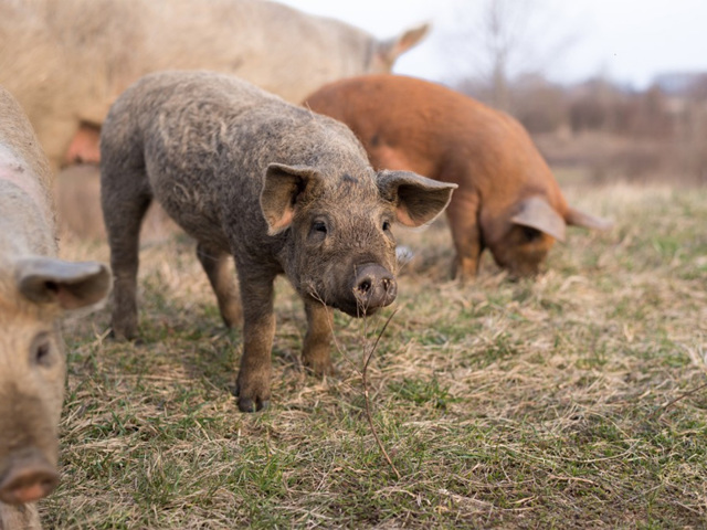 Красная белопоясая порода свиней: описание, фото, продуктивность, выращивание и уход
