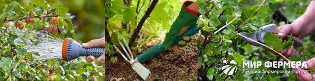 Крыжовник: посадка и уход, способы выращивания и сбор урожая