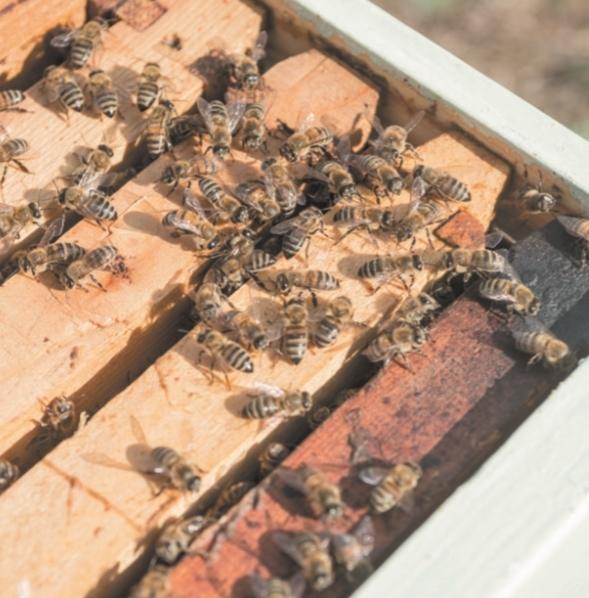 Воровство пчел: как бороться и что делать, чтобы предотвратить?