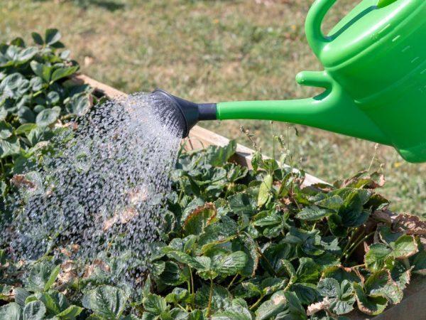 Подкормка клубники осенью: органические и минеральные удобрения, подготовка клубники к зиме