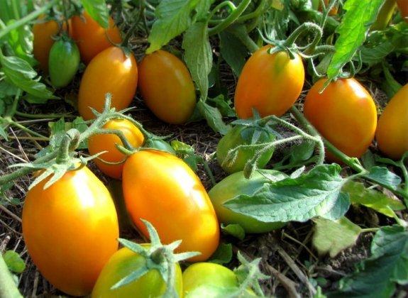 Томат Золотой поток: описание, фото, агротехника, выращивание, уход и сбор урожая