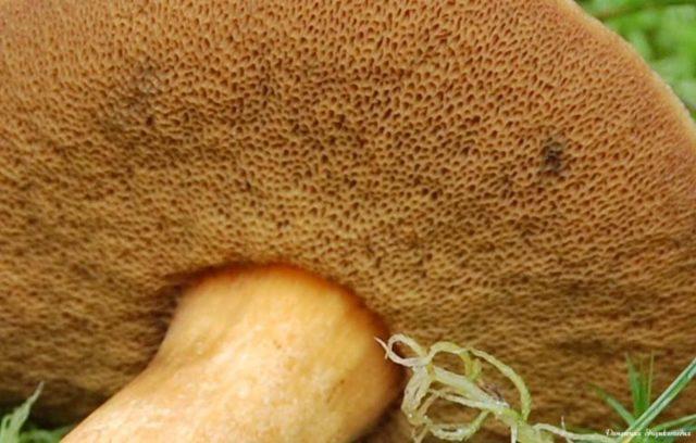 Грибы козлята: описание, фото, произрастание, двойники и выращивание