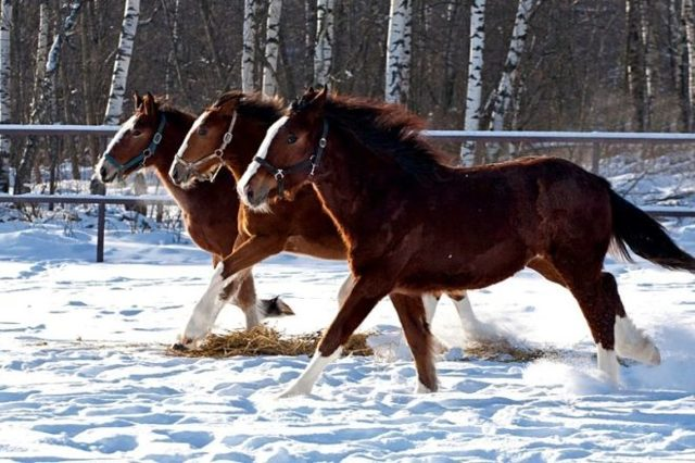Владимирский тяжеловоз описание породы лошадей содержание и разведение