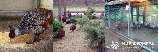 Чем кормить фазанов летом и зимой в домашних условиях? Как приготовить корм?