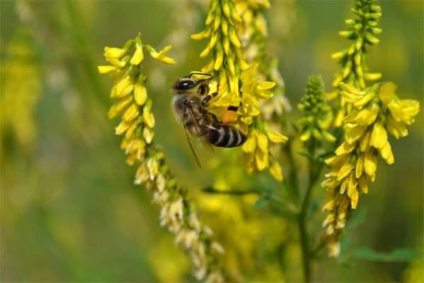 Сорта и виды мёда: названия, свойства, вкус и другие особенности