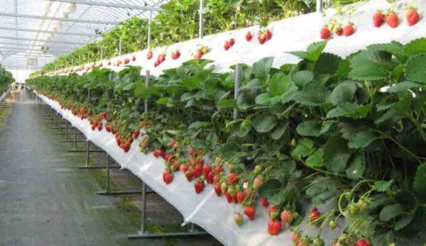 Выращивание клубники по голландской технологии: пошаговая инструкция