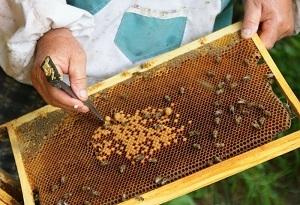 Пчеловодство в России: особенности, проблемы, плюсы и минусы