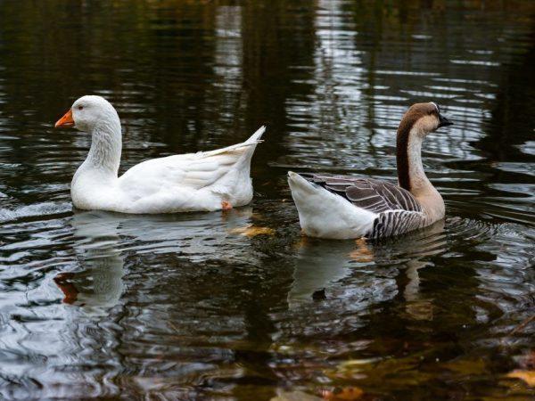 Дикие гуси: описание, виды, ареал обитания, образ жизни и одомашнивание