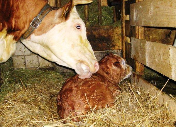 Кетоз у коров: причины, симптомы, диагностика, лечение, профилактика