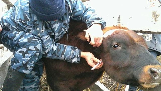 Лейкоз у коров чем опасен для человека