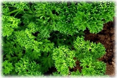 Посев петрушки под зиму: подготовка почвы и семян, посев, уход, сбор урожая