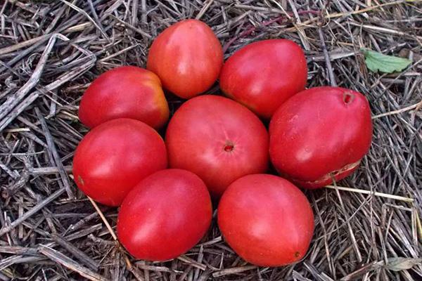 Томат Гном: описание сорта, посадка, выращивание и уход, плюсы и минусы, отзывы, фото