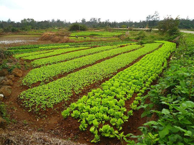 Сидераты для огурцов: какие бывают, технология внесения и выращивания