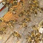 Спаривание пчелиной матки с трутнем: особенности, контроль процесса