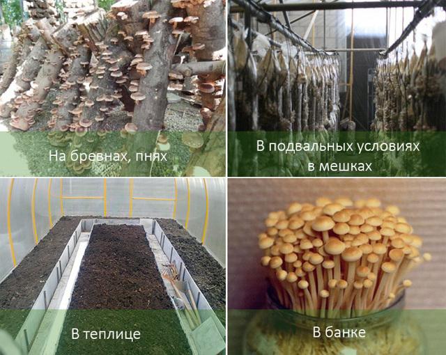 Выращивание опят в домашних условиях: на пнях, в банках, в теплице