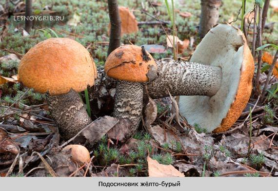 Ложный подосиновик: описание гриба, ядовитый или нет, где растет?