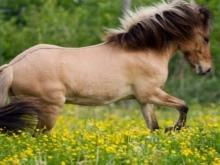 Гнедая лошадь: описание породы, характеристики, разновидности отмастки, характер и здоровье