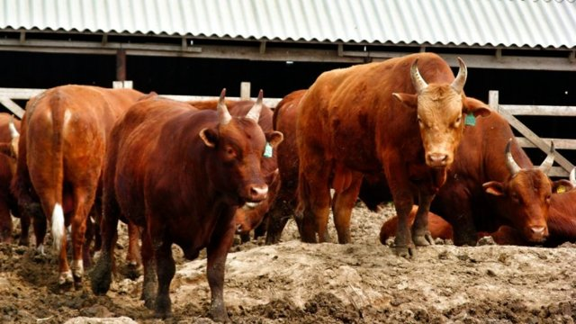 Калмыцкая порода коров: характеристика животного, продуктивность, уход и содержание