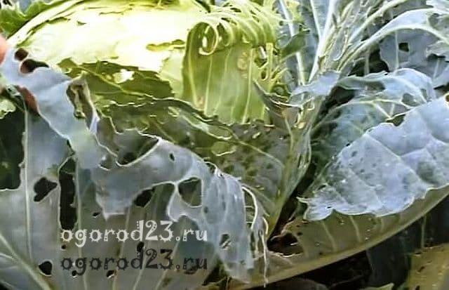 Выращивание капусты в открытом грунте: посадка, уход и сбор урожая
