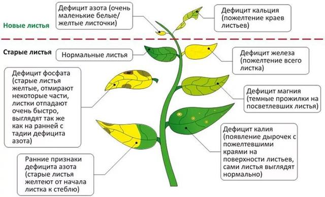 Чем подкармливать рассаду помидоров? Эффективные удобрения