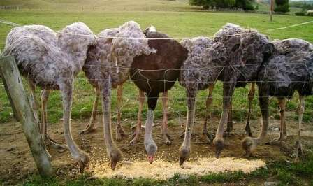 Кормление страусов: чем и как кормить, режим, поение, питание страусят и запрещенные продукты