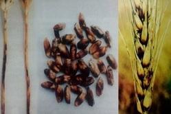 Озимая пшеница: характеристики, посадка, уход, болезни, сбор и хранение урожая