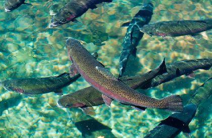 Виды рыб для разведения и выращивания: условия, кормление, размножение и зимовка