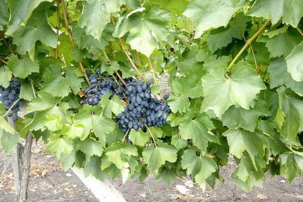 Виноград Кодрянка: описание сорта, фото, плюсы и минусы, посадка и уход, отзывы