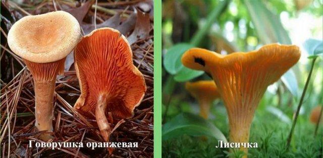 Грибы говорушки: описание, виды, где растут, похожие грибы, польза и вред