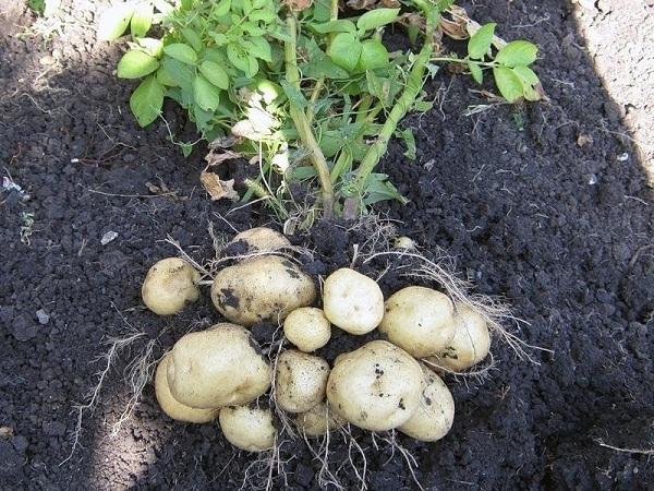 Картофель Удача: описание сорта, особенности выращивание и ухода, отзывы