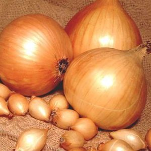 Лук Золотистый Семко: описание сорта, фото и выращивание