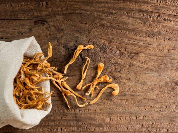 Гриб кордицепс: полезные свойства, выращивание, применение в медицине