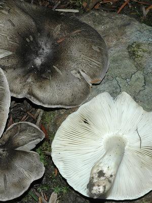 Грибы рядовка серая (рядовка штриховатая, подсосновик): описание, где и как растет, съедобность, виды