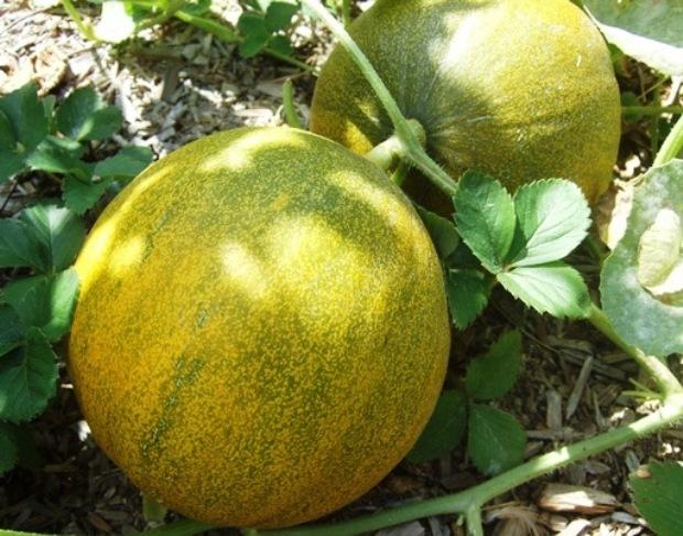 Сорта дынь: описание, фото, характеристики, выращивание и уход