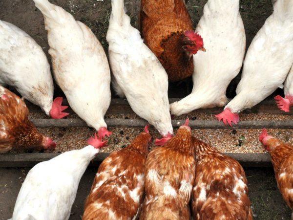 Костная и мясо-костная мука для кур: польза, инструкция по применению, хранение