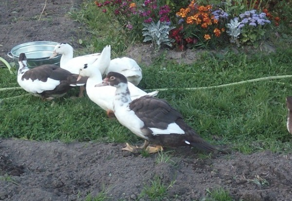 Утки шипуны: описание и характеристики породы, содержание и уход, разведение, отзывы
