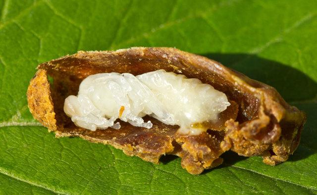 Личинки пчел: строение, жизненный цикл, уход и прочие важные моменты