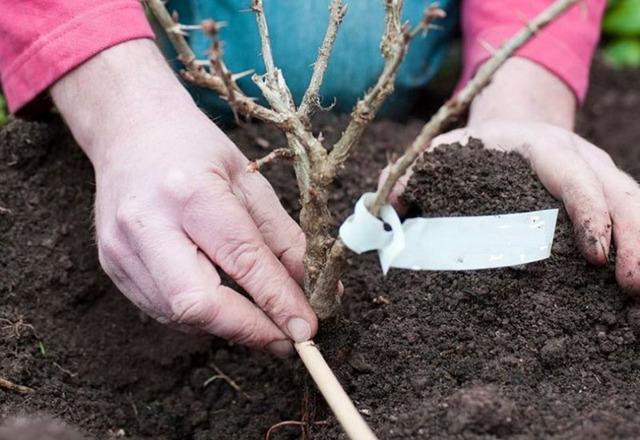 Крыжовник Финик: описание сорта, плюсы и минусы, фото, отзывы, правила выращивания